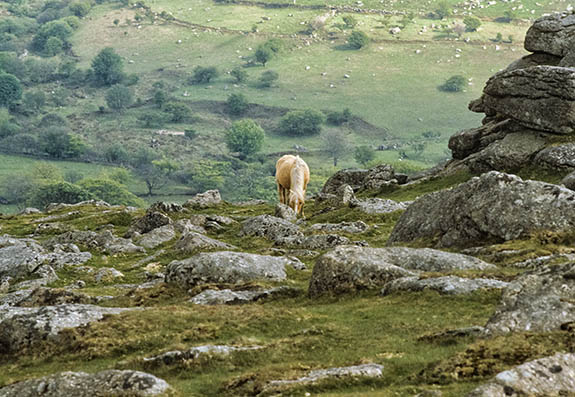 ENG: South West Region, Devon, Dartmoor National Park, Dartmoor's Western Edge, Sheepstor, Horse grazing on tor [Ask for #106.036.]