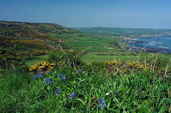 ENG: Yorkshire & Humberside Region, North Yorkshire, North Yorkshire Coast, Sea Cliffs, Ravenscar, Spring wildflowers frame a view of Robin Hoods Bay [Ask for #270.128.]
